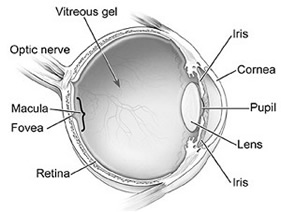 Drawing (Structure of eye) Courtesy of National Eye Institute
